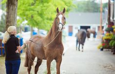 The beauty of the American Saddlebred. Photo by Brenda Carpenter.