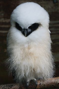 Baby Owl - Chester Zoo by Ian Lambert, via Flickr