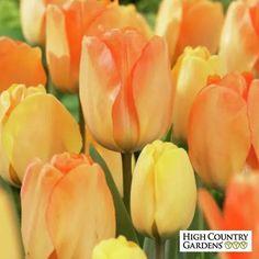 Orange and Yellow Darwin Tulip Bulbs Daydream, Tulipa, Darwin Tulip Bulbs…