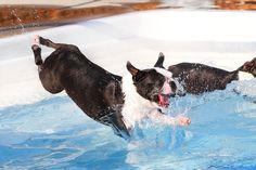 Boston Terriers Swimming @Jenna Nelson Nelson Sweet  @Vicki Smallwood Smallwood Willits Bartram