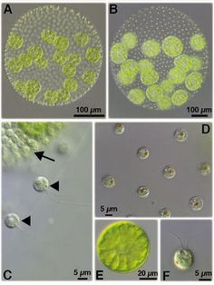 How did multicellularity evolve? Volvox, Chlamydomonas and the Evolution of Multicellularity