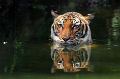 Air yang tenang jangan disangka tiada pak belang... Malaysia Truly Asia, Cats, Photography, Animals, Gatos, Photograph, Animales, Animaux, Fotografie