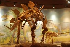 Did you learn that stegosaurus had a brain in its butt? Well that's not true!