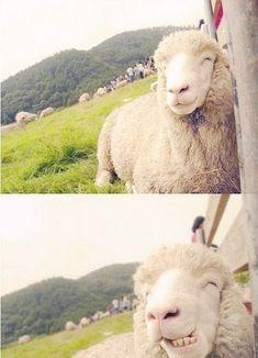 Ovelha feliz.