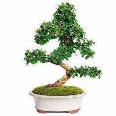 Fukien Tea Bonsai Tree For Sale