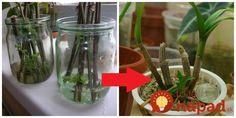 Na urýchlenie rastu a tvorbu koreňov odrezkov nemusíte nutne používať chémiu. Ten najlepší výsledok dosiahnete pomocou týchto prírodných prostriedkov. Indoor Plants, Mason Jars, Glass Vase, Succulents, Gardening, Table Decorations, Flowers, Home Decor, Forks