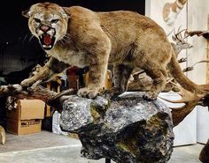 Mountain lion. Deer Mounts, Mountain Lion, Taxidermy, Panther, Hunting, Man Cave, Men, Deer Hunting