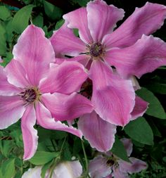 HGTV HOME Plants - Queen of Style™ clematis