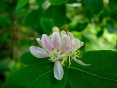 How to extract essential oils from honeysuckle blossoms. Sounds like a project for this weekend! Honeysuckle is blooming everwhere!