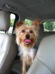 Ridgefield ct yorkie yorkshire terrierborder terrier mix adopt tigger on ccuart Choice Image