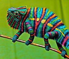 caméléon multicolore