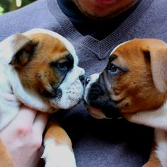 Hello! Boxer puppy nose nuzzle with a friend....