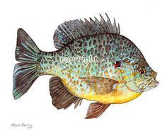 Pumpkin Seed  Fresh Water Sunfish, Summer, water color, color pencil, fish, lake, summer vacation, illustration, art