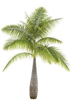 Bottle Palm (Hyophorbe Lagenicaulis)