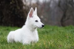 374 Best Swiss Shepherd Images German Shepherd Dogs White Swiss