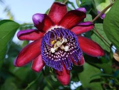The Best Perennial Vines for Your Garden Passiflora