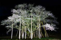 509:「夜桜の撮影に初めて行きましたが圧倒的な存在感で歴史を感じました。」@根尾谷・淡墨公園