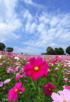 Cosmos, summer-fall bloom, plant in spring, sun, annual, attracts bbb, tall, good for pots or back edge