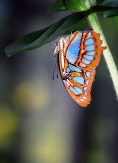 This malachite butterfly (Siproeta stelenes) was one of many species at Brookside Gardens in Silver Spring, Maryland, just outside of Washington, D.C.