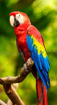 scarlet macaws are some of the most graceful parrots Tropical Birds, Exotic Birds, Colorful Birds, Beautiful Birds, Animals Beautiful, Cute Animals, Macaw Parrot For Sale, Blue Gold Macaw, Animal Art Projects