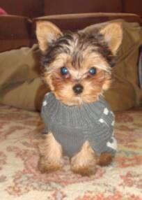 Yorkie puppy from Buckley's breeder! (OMG! What a frickin cutie!)