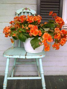 begonia against turquoise