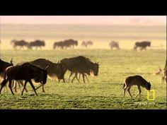 Great Migrations on the savannah of the dry Serengeti Grassland Habitat, Grade 2 Science, Love The Earth, Biomes, African Animals, Savannah Chat, Habitats, The Unit