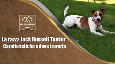 Il Jack Russell Terrier - Caratteristiche e dove trovarlo - Documentario...