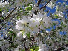 Crabapple tree. Spring Snow Crabapple in bloom