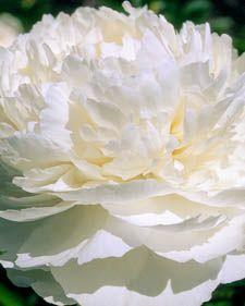 Herbaceous peony: Paeonia Bowl of Cream - zone 3