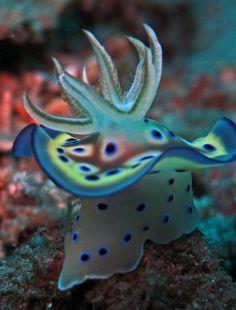 Chromodoris kuniei #Nudibranch