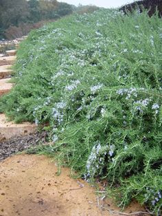 Prostrate Rosemary.  I have planted some of this as groundcover.  I don't intend on letting it get this bushy though.