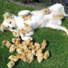 """These chicks be like all up on me!"" Follow @DogVacay and tag us with #puppiesforall for a chance to be featured! #dog #love #instadaily #cute #puppy #instagood #puppies #dogs #cat #dogs #cats"