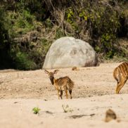 African Wild. Sabi Sand. Kruger National Park. Nyala Antelope