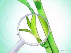 Imagen titulada Grow Lucky Bamboo Step 11