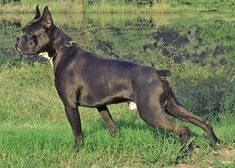 Flashy Reverse Brindle Boxer | CB. One of the Boondocks Boxers sires.