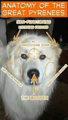 Anatomy of the Great Pyrenees/Pyrenean Mountain Dog. Sooo Arwen and Hamish! Pyrenees Puppies, Great Pyrenees Puppy, Dogs And Puppies, Doggies, Big Dogs, I Love Dogs, Puppy Love, Funny Animals, Cute Animals