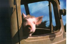 Babe the cute little pig in Babe the movie. Babe The Movie, Country Chicken, The Barnyard, Little Pigs, Coops, Border Collie, Country Life, Sheep, Concept Art
