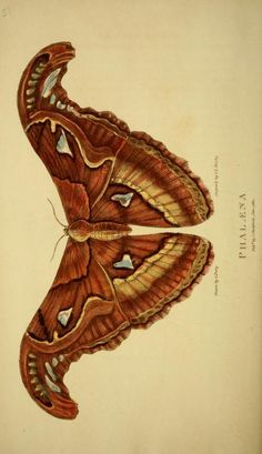 Moth illustration (from engraving) by Lord Thomas Busby for George Perry's Arcana, 1811.