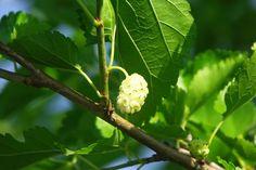 Morušovník bílý (Morus alba) Fruit