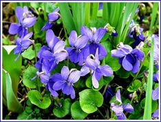 Plantation, Plants, Flowers, Gardens, Leaves, How To Make, Violets, Planting Flowers, Edible Wild Plants