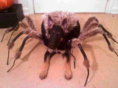 Spidergermanshepherd