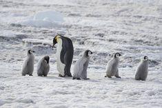 Cute Penguins, Pet Treats, Cat Health, Antarctica, Dog Cat, Emperor Penguins, Pets, Medical, Snow