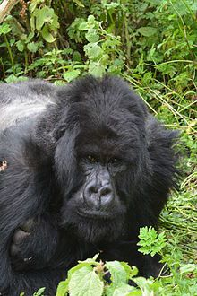Mountain gorilla - Wikipedia, the free encyclopedia