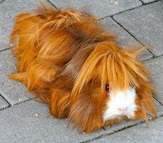 Satin Guinea-pig