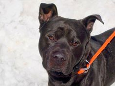 GONE - 03/20/15 Manhattan Center  My name is GIZMO. My Animal ID # is A1028495. I am a male black labrador retr and staffordshire mix. The shelter thinks I am about 2 YEARS old.*** RELEASED FROM DOH HOLD FOR RESCUE ONLY 3/17/15 ** For more information on adopting from the NYC AC&C, or to  find a rescue to assist, please read the following: http://urgentpetsondeathrow.org/must-read/