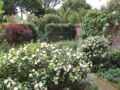 Myrtle bushes in flower in July, clusters of tiny white flowers combine with the aromatic leaves and all year structure