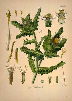 Cnicus benedictus L., Blessed thistle - Medicinal Botanical Plants