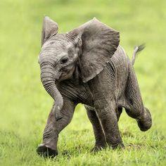 Baby elephant in a hurry. Photo Elephant, Cute Baby Elephant, Cute Baby Animals, Animals And Pets, Funny Animals, Wild Animals, Happy Elephant, Little Elephant, Elephants Photos