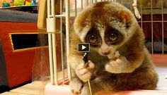 This Loris named 'Kinako' certainly loves eating rice balls. It takes some times while he finishes the small rice ball but it doesn't mean that it doesn't like it that much. These animals are known for their slow movements during the day. They are nocturnal animals.